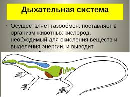 Реферат Органы дыхания ru Курсовая органы дыхания