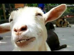 funny goats a funny goat videos pilation new hd