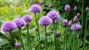Image result for chives