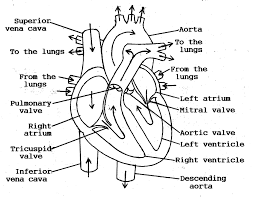 Small Picture Coloring Download Anatomical Heart Coloring Pages Anatomical