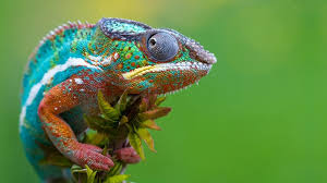 Scientists Unlock The Secret Behind Chameleons Color Changing