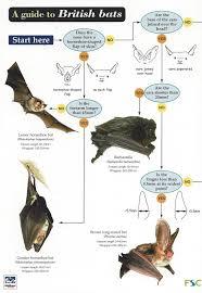 Bat Species Chart Bats Identification Guide