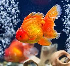 petsmart animals fish. Perfect Petsmart Fancy Goldfish Care Guide Inside Petsmart Animals Fish S