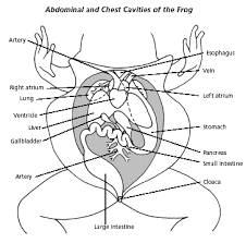Parts Of A Frog Frog Parts Flashcards By Proprofs