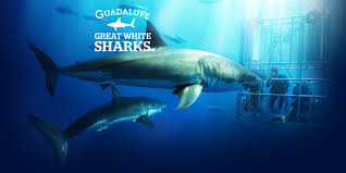 great white sharks of guadalupe island go face to face in two sharks circling divers inside a submersible cage