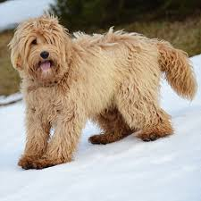 Labradoodle Color Chart Breed Colors Alaa
