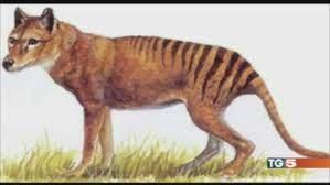 Tigre della Tasmania avvistata in Australia - TG5 Video