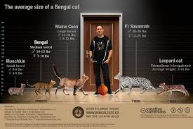 How Big Will A Full Grown Bengal Cat Be Bengalcats Co