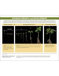 Soybean Growth And Development Key Growth Stages