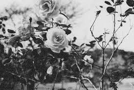 black and white flowers tumblr photography. Interesting And Black And White Flowers Background Tumblrblack Flower Tumblr  Yhbfkmtx  Trending ImageTrending Image To Photography L