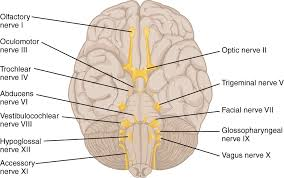 13 3 Spinal And Cranial Nerves Anatomy Physiology