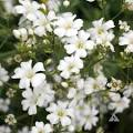 Baby's-breath picture