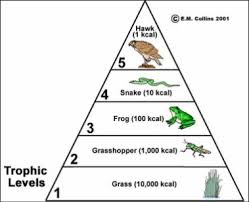 animal food pyramid. Fine Food Each Stagelevel Of The Pyramid Is Called A  Inside Animal Food Pyramid A