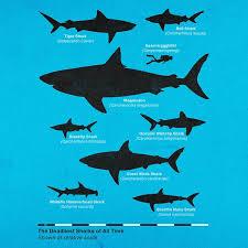 Shark Size Comparison Chart The Deadliest Sharks Of All Time Shark Great White Shark