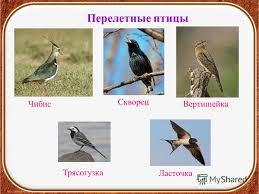 Презентация на тему Птицы осенью Окружающий мир класс УМК  10 Перелетные птицы Чибис Скворец Вертишейка Ласточка Трясогузка