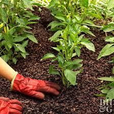 beginner gardening. Mulching Vegetable Pepper Plant. Beginner Gardening