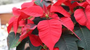 Weihnachtsstern Euphorbia Pulcherrima Pflege Tipps
