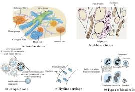 Flow Chart Of Animal Tissue Class 9 Animal Tissues Learn Biology Class 9 Amrita