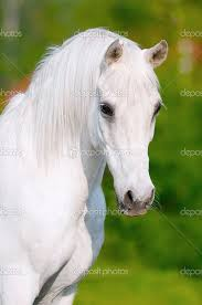 white horses. Brilliant Horses White Horse Pictures Only  Horse Portrait In Summer Day  Stock Image And Horses H