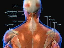 Human anatomy detail of back,spine. Labeled Anatomy Chart Of Neck And Back Photograph By Hank Grebe