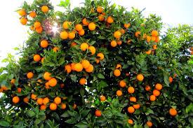 نتیجه تصویری برای عسل درخت پرتقال