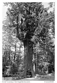 black and white picture photo drive through chandelier tree leggett california usa