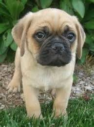 cute baby puggle. Interesting Baby Puggles Have The Best Faces Inside Cute Baby Puggle