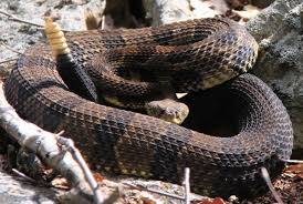 rattlesnake.  Rattlesnake As Of 2018 Timber Rattlesnake Populations In Pennsylvania Appear To Have  Stabilized Inside Rattlesnake G