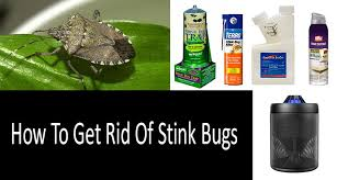 gettting rid of stink bugs photo