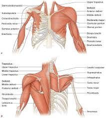 Jul 27, 2021 · ventral trunk muscles (overview) the trunk (torso) is the central part of the body to which the head and the limbs are attached. Muscles Movement Analysis And Mat Work Pilates Anatomy