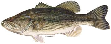 Largemouth Bass Age Chart Largemouth Bass