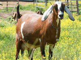 Dairy Goat Breeds The 5 Best Dairy Goat Breeds For The Homestead Off The