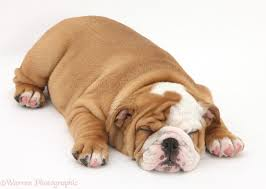 bulldog puppies sleeping. Fine Sleeping Sleeping Bulldog Pup 8 Weeks Old White Background On Puppies Y