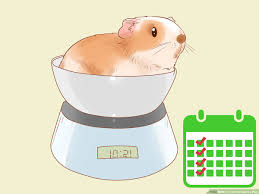 Guinea Lynx Vegetable Chart How To Care For Guinea Pigs With Pictures Wikihow
