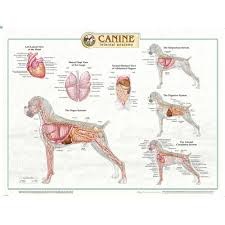 dog chart canine internal organs laminated chart poster