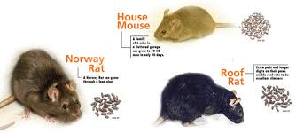 Image result for rodent photos
