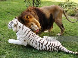 Image result for big cat rescue