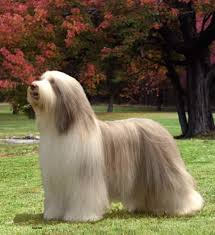 Resultado de imagen para imagenes de perros collie barbudo