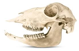 Small Animal Skull Identification Chart Animal Teeth Types Of Teeth Dk Find Out