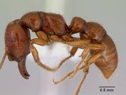 Amblyopone australis