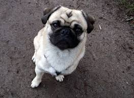 the pug is a small square proportioned cute looking dogs with happy rament they are notable for their flat round face with deep wrinkles