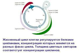 Уфимский Государственный Авиационный Технический Университет  Затем происходит митоз деление клетки и цикл повторяется заново Фазы g1 g2 s вместе называются интерфазой т е фазой между делениями клетки