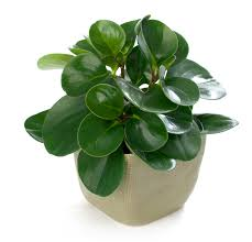 Peperomia Obtusifolia or baby rubber plant bright to moderate light with  some sun, warm temp