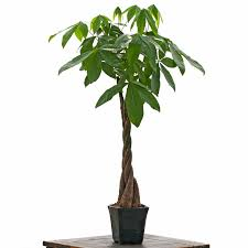 office tree. ExtraLarge Braided Money Tree By Hand Native To The Tropical Zones Of Mexico And Central America It Will Thrive In Household Environments Office E