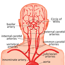 arteries of the face major arteries of brain supply blood supply to the head and face