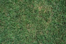 carpet grass. grass carpet n