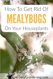 mealybugs are tiny white bugs on houseplantost commonly look like fuzzy stuff house plant how house plant bugs common houseplant in soil