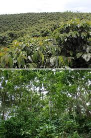 shade grown coffee plantation. Brilliant Grown Sun Grown Versus Shade Coffee Plantations On Shade Grown Coffee Plantation F