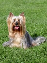 silky dog. shutterstock_369715046 (1) silky dog