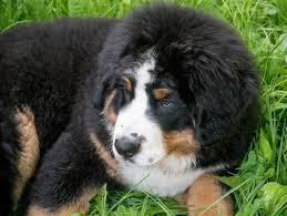 bernese mountain dog mix. Perfect Mix Hairy Bernese Mountain Dog Mix To Dog Mix D